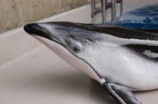 2月13日放送分〜日本の水族館最年長!えのすいのカマイルカのお話