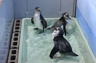 7月2日〜今年生まれたペンギンの子供達の近況!