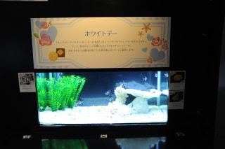 2月28日放送分〜テーマ水槽「ホワイトデー〜キャンディー模様の魚たち」