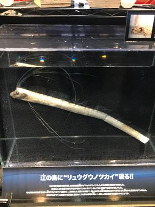 3月7日放送分〜深海から江の島にやってきた「リュウグウノツカイ」標本公開中!