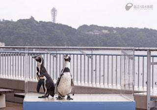 11月29日オンエア〜ペンギンのお散歩!