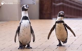 10月31日放送分〜ペンギンのお散歩