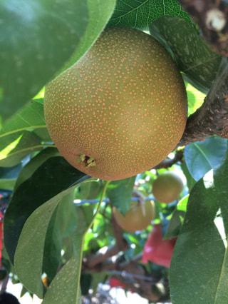 夏は梨でまちがいなし!