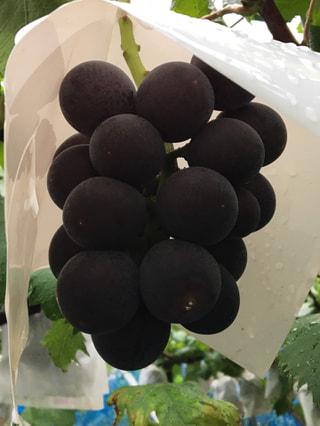 葡萄に込めた大和魂