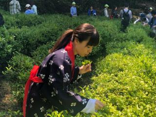 横浜市内に、茶摘みができる場所はない!?