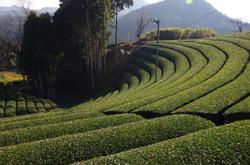 京都で茶畑をハイキングできるツアーがある!?…(10月28日)