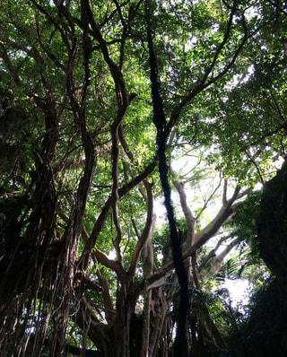ガジュマルの木の下で。