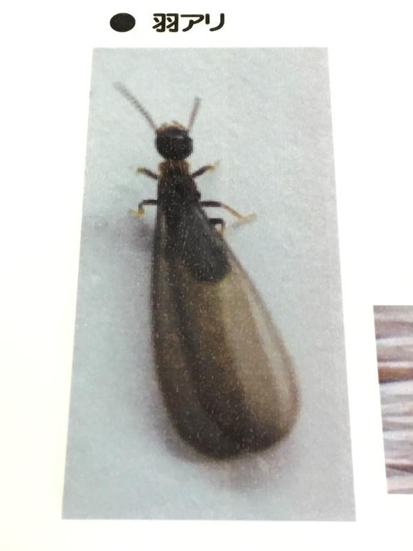 黒い シロアリ
