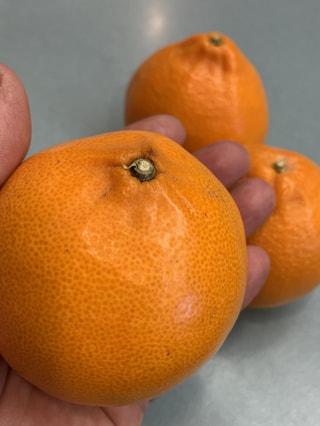 柑橘の女王、せとか。冬のみかんシーズンラストに絶対王者、降臨!